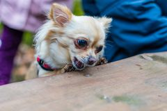 Cute chihuahua dog sitting at the table in forest and eating som. E food. Green nature in blurred background Royalty Free Stock Photography