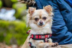 Cute chihuahua dog sitting at the table in forest and waiting for food. Green nature in blurred background stock images