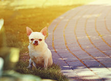 Cute chihuahua Royalty Free Stock Image