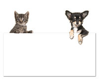 Cute chihuahua dog and a tabby baby cat holding an white paper board Stock Photos