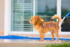 Cute chihuahua dog take a bath at home Stock Images