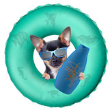 Cute chihuahua dog want protect at the sun Royalty Free Stock Photography