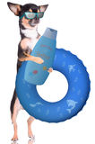 Cute chihuahua dog want to go swimming with swim ring and think about suncreame for not burn Stock Photography