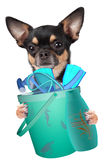 Cute chihuahua dog wants to go snorkeling Royalty Free Stock Images