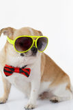 Cute Chihuahua dog. Chihuahua dog wearing eyeglasses with bow tie on isolated, white background Royalty Free Stock Images
