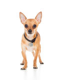 Cute chihuahua dog on white background. Chihuahua dog on white background Royalty Free Stock Photos