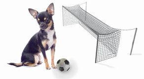 Cute chihuahua dog will make a goal Stock Photography