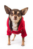 Cute chihuahua dog Stock Image