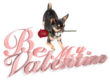Cute chihuahua dog wish a happy valentine Stock Photography