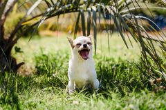 Cute Chihuahua dog yawns stock image