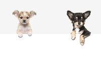 Cute chihuahua dogs hanging over a white paper border. With room for text on a soft grey background stock photography