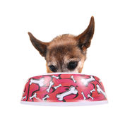 A cute chihuahua eating out of a bowl Royalty Free Stock Photo
