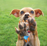 A cute chihuahua enjoying the outdoors on a summer day Royalty Free Stock Photo