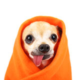 A cute chihuahua with his tongue hanging out and a blanket wrapp Stock Photo