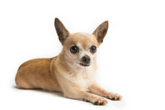 Cute Chihuahua Isolated on White Background Stock Image