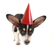 A cute chihuahua stock photography