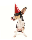 A cute chihuahua Royalty Free Stock Photo