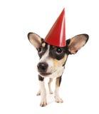 A cute chihuahua Stock Photo
