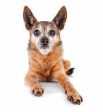 A cute chihuahua isolated on a white background Royalty Free Stock Photos