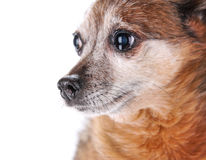 A cute chihuahua isolated on a white background Stock Image
