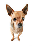 A cute chihuahua isolated on a white background Royalty Free Stock Image