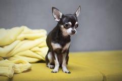 Cute Chihuahua Royalty Free Stock Photos