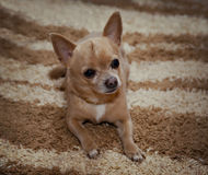 Cute Chihuahua lying on the carpet. Small dog looking to the side on the host Royalty Free Stock Photography