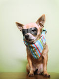 A cute chihuahua with a mask and bandana on royalty free stock photos