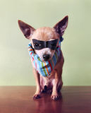 A cute chihuahua with a mask and bandana on Stock Photos