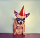 A cute chihuahua with a mask on Stock Image