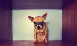 A cute chihuahua with a mask on Royalty Free Stock Image