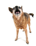 A cute chihuahua panting with his tongue out Royalty Free Stock Photography