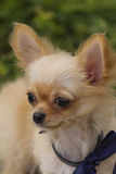 Cute chihuahua Royalty Free Stock Photos