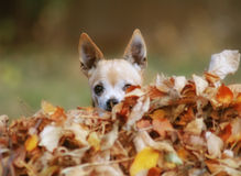 A cute chihuahua in a pile of leaves Stock Photo