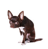 Cute chihuahua portrait isolated on white Stock Photography