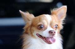Cute chihuahua portrait, looking something. Stock Images