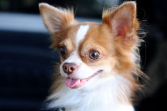 Cute chihuahua portrait, looking something. Stock Photos