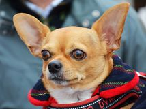 Cute chihuahua, portrait Stock Images