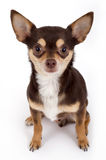 Cute chihuahua. Portrait on white background stock photo