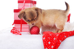 cute chihuahua pup with christmas gift Stock Images