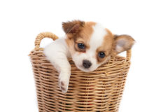 Cute chihuahua puppies Stock Images