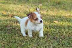 Cute chihuahua puppies. In the garden royalty free stock photos