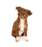 Cute chihuahua puppy Royalty Free Stock Photo