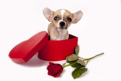 Cute chihuahua  puppy. Royalty Free Stock Images