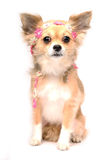 Cute chihuahua puppy. Cute little chihuahua puppy sitting flower Royalty Free Stock Photo