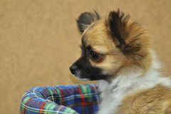 Cute chihuahua puppy in bed Stock Photo