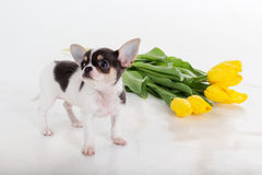 Cute chihuahua puppy with bouquet of yellow flowers Stock Photo