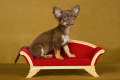 Cute Chihuahua puppy on brown sofa Stock Images
