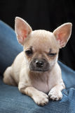 Cute chihuahua puppy close-up Stock Photo