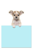 Cute chihuahua puppy dog holding a baby blue paper board Royalty Free Stock Photos